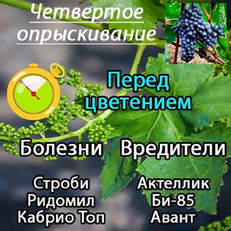 Обработка винограда весной: когда и чем опрыскивать от болезней вредителей, пошаговая инструкция