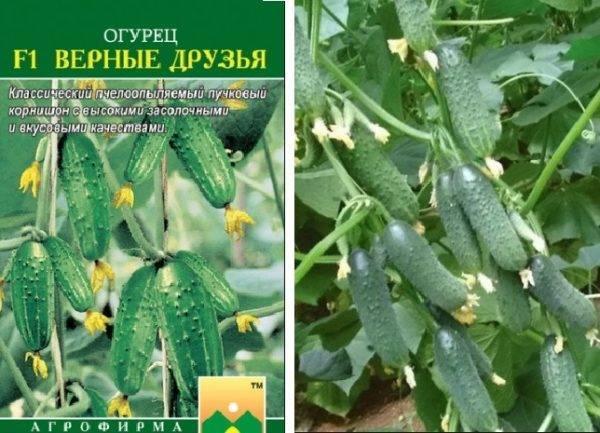 Огурец сибирский многодетный f1: описание сорта, фото, отзывы садоводов