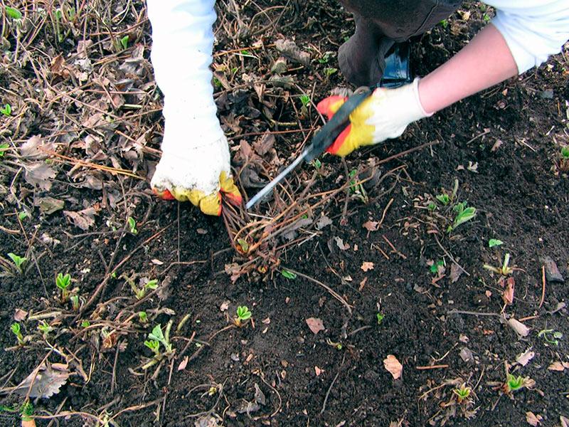 Когда обрезать листья клубники после сбора урожая (надо ли вообще?)