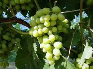 Описание и характеристики винограда сорта галахад, достоинства и недостатки