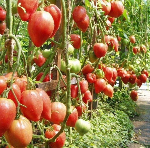 Невероятно большие помидоры из сша — томат чудо уолфорда: описание сорта и особенности ухода