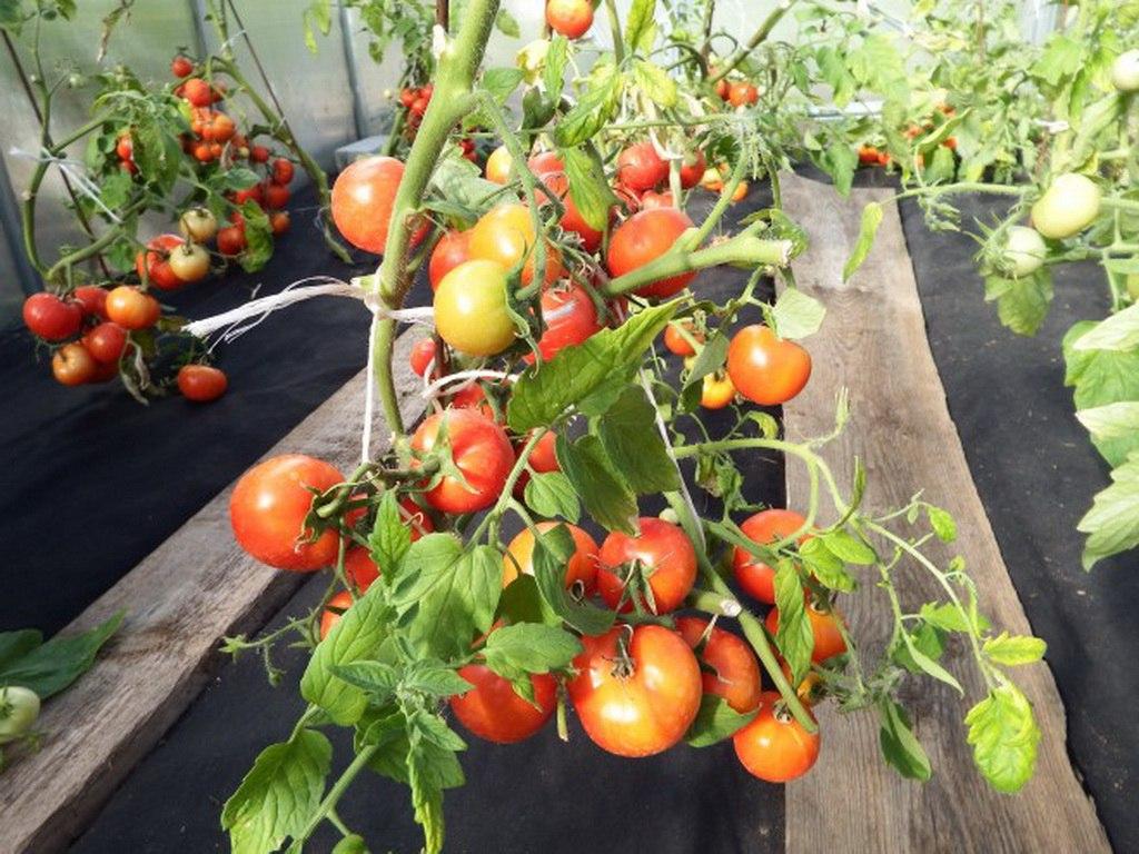 Томат яблоки на снегу описание сорта, его характеристика, фото и секреты выращиания русский фермер