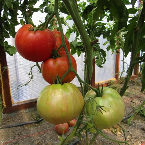 Томат сибирский скороспелый: описание и характеристика сорта, особенности выращивания, сроки посадки на рассаду, отзывы, фото