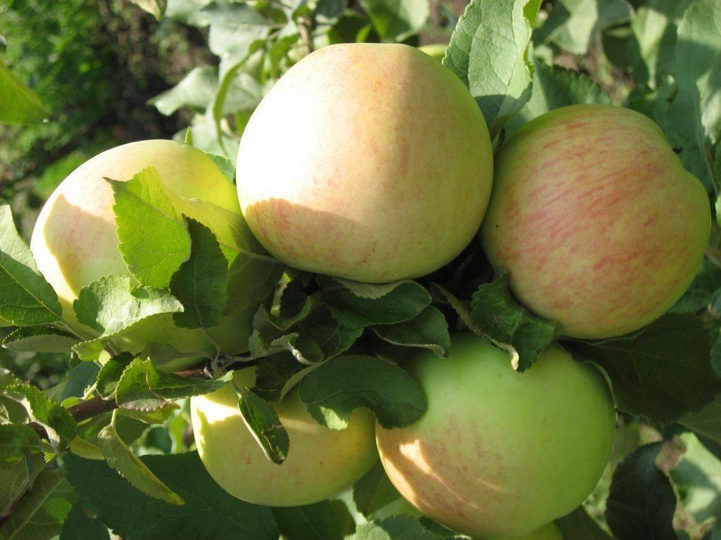 Яблоня штрейфлинг – старинный поздний сорт