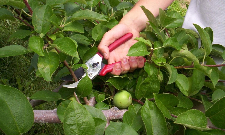 Как заставить яблоню плодоносить?
