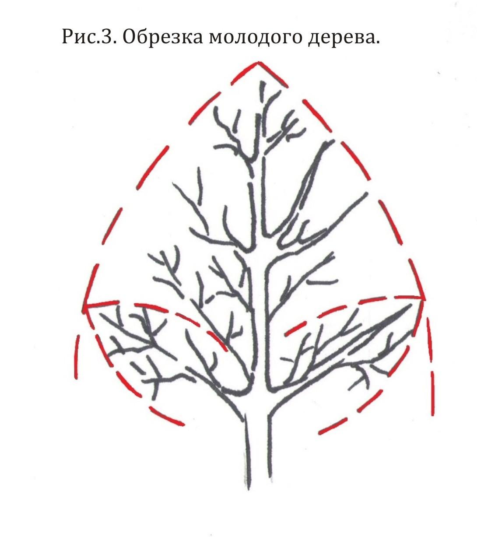 Обрезка грецкого ореха осенью весной летом как правильно схема видео