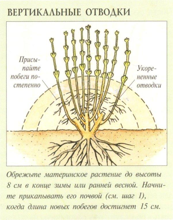 Размножение крыжовника: черенками, отводками и другими способами, осенью, весной и летом