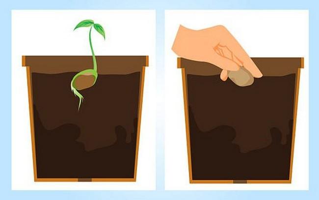 Как вырастить манго из косточки в домашних условиях - pocvetam.ru