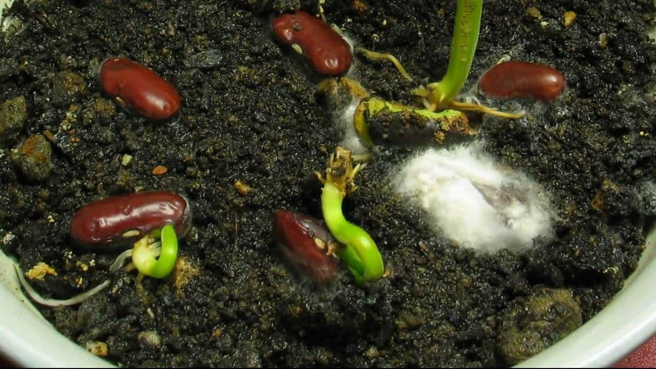 Проращиваем фасоль дома