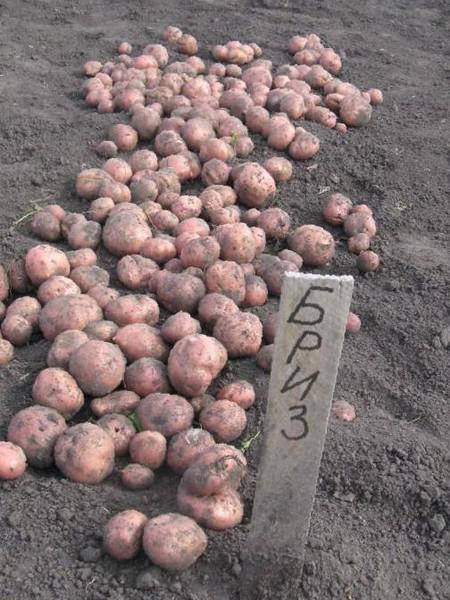 Картофель бриз — описание сорта, фото, отзывы, посадка и уход