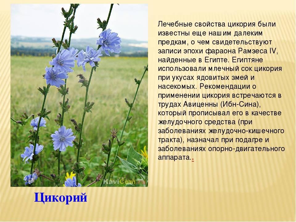 Растение цикорий — свойства, противопоказания, как использовать   здоровье и красота