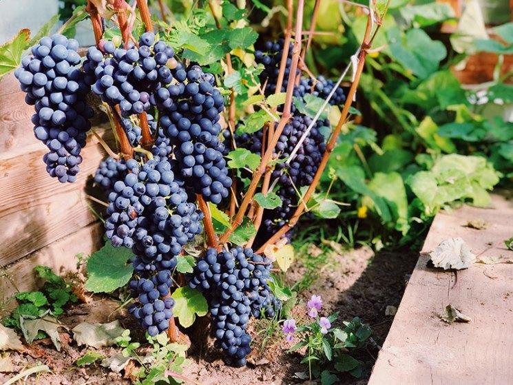 Проверенные сорта винограда для сибири