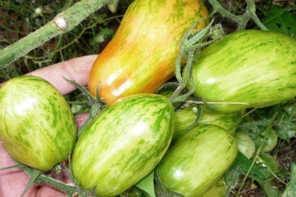 Описание полосатого перцевидного томата Шерхан и агротехника выращивания