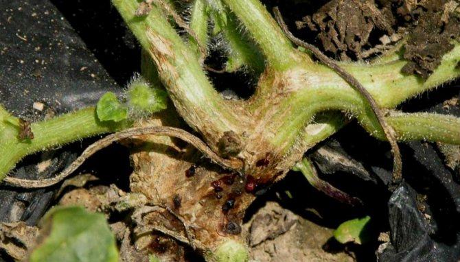 Профилактика и лечение фузариозного и вертициллезного увядания огурцов