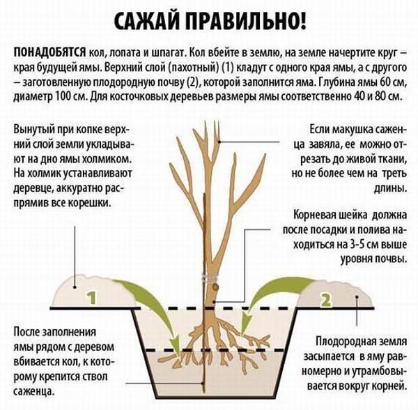 Размножение крыжовника черенками, делением куста и другими способами, в том числе весной