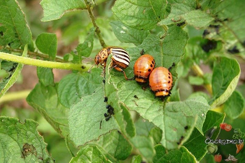 Колорадский жук: как выглядит, средство борьбы с ним, как избавиться навсегда с фото