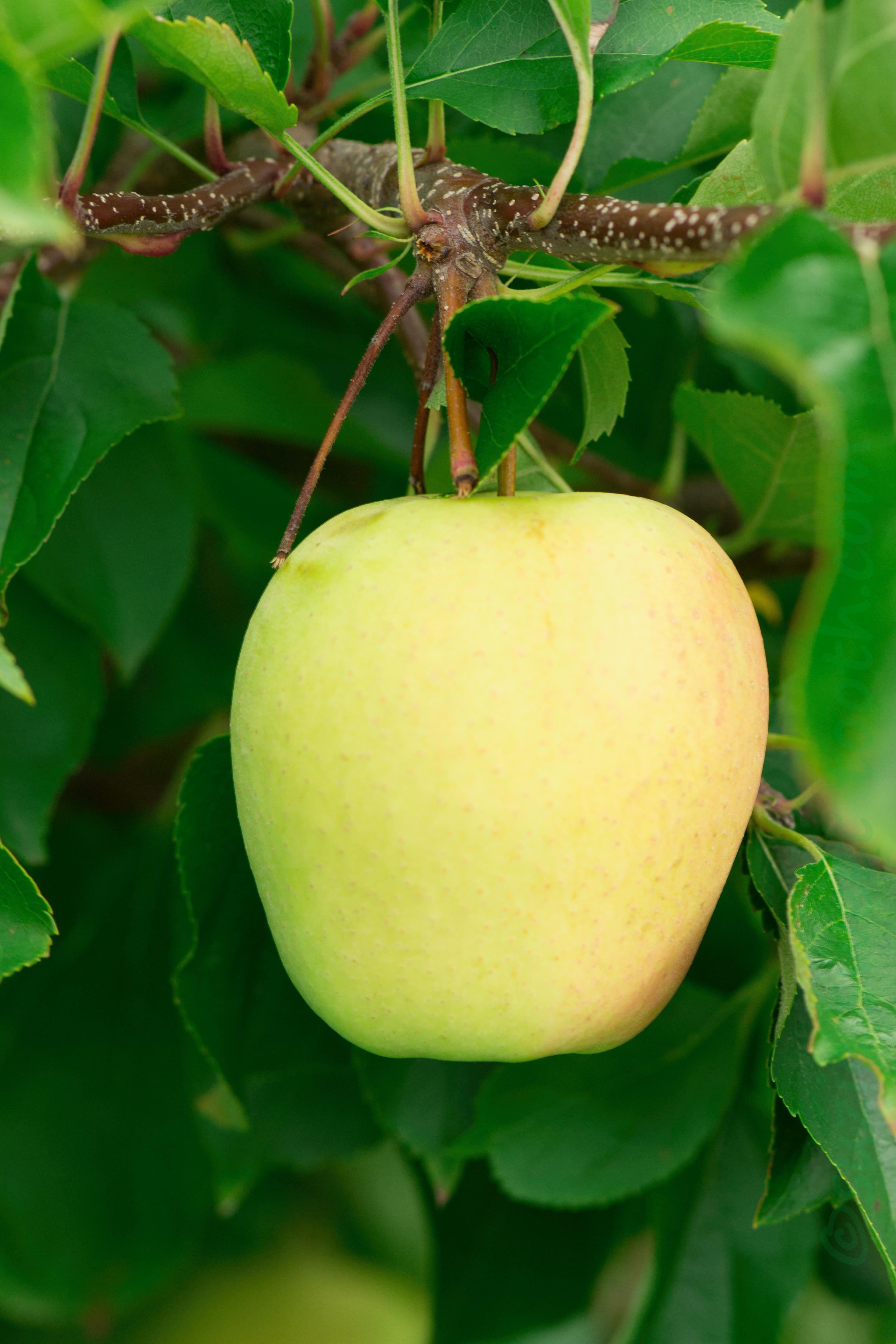 Яблоки голден – описание сорта с фото, калорийность, польза и вред, применение фрукта на ydoo.info