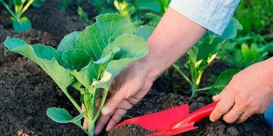 Причины, почему у капусты на грядке вянут листья и что делать