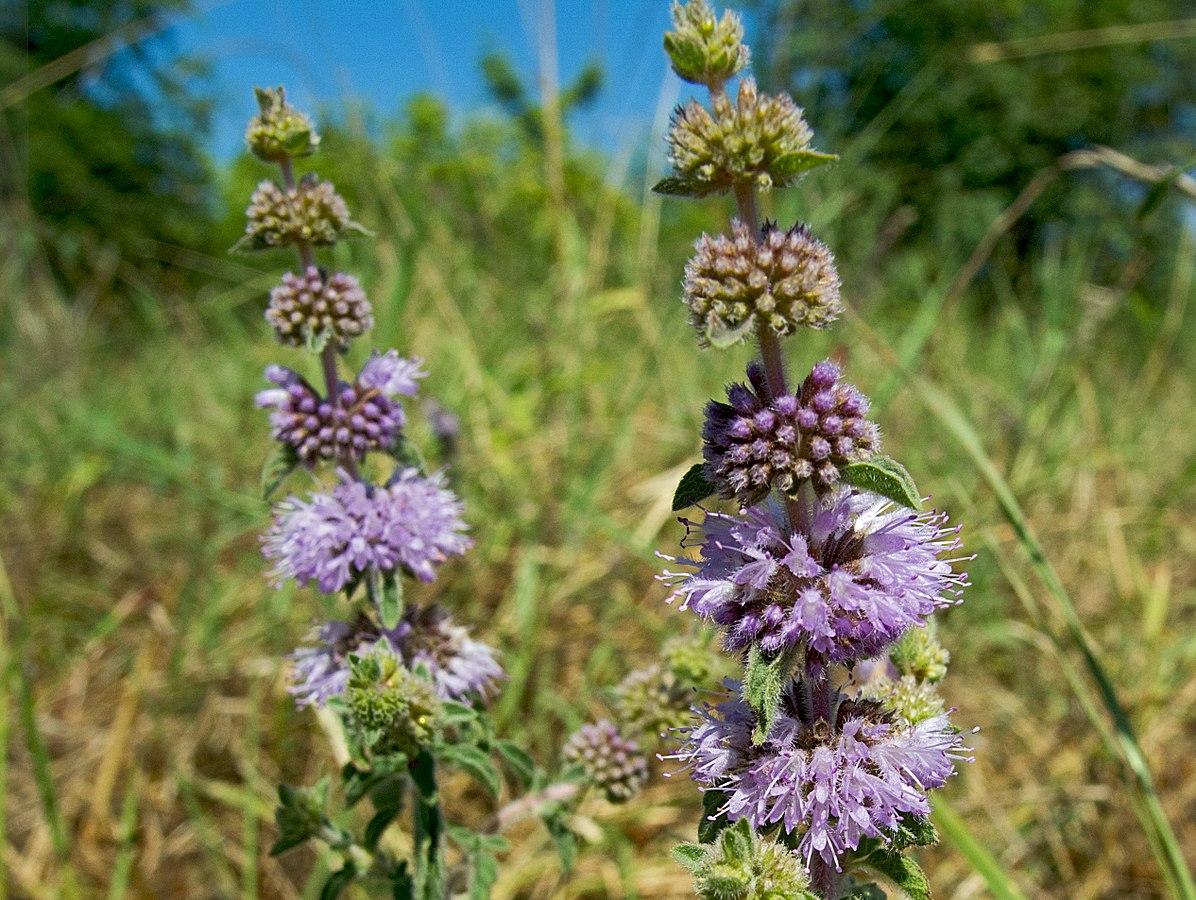 Белокрыльник: азбука посадки и ухода за болотной каллой   огородники