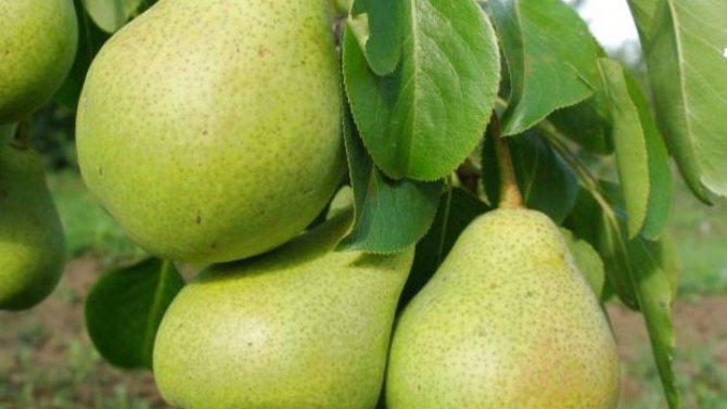 ✅ о груше феерия: описание и характеристики сорта, посадка, уход, выращивание