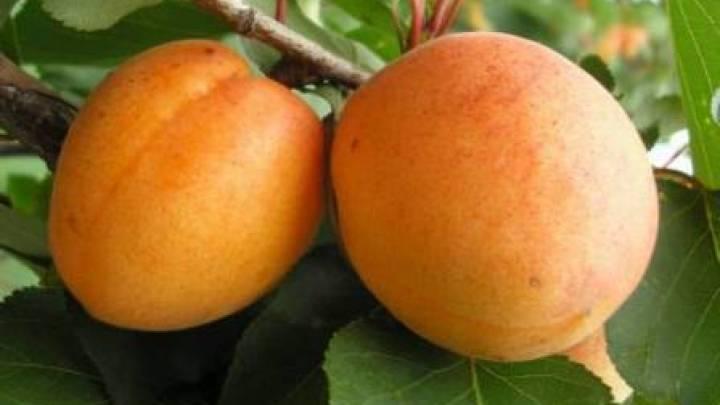 Описание лучших сортов колоновидного абрикоса, посадка и уход