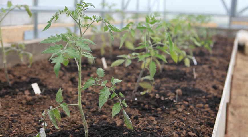 Рассаду помидор в теплицу как правильно и когда высаживать в 2021 году