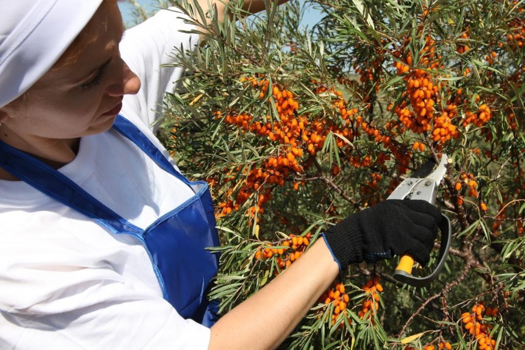 Облепиха: как собрать и сохранить на зиму ягоды