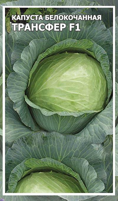Капуста агрессор f1: описание сорта, отзывы и урожайность, фото