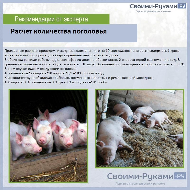 Разведение свиней в домашних условиях, особенности и преимущества | cельхозпортал