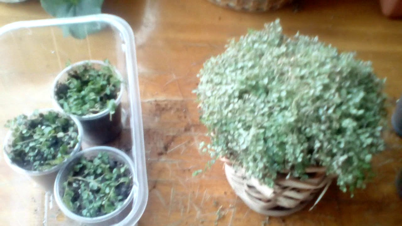 Солейролия, правила ухода за растением в домашнем саду