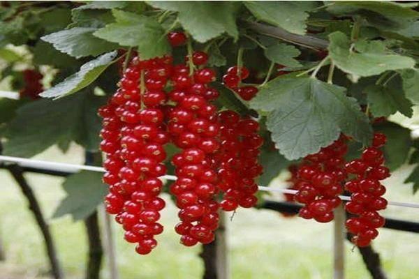 Смородина ролан: описание сорта красной смородины, выращивание - посадка и уход