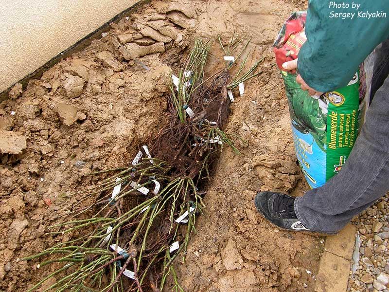Правила посадки садовых роз в открытый грунт на даче