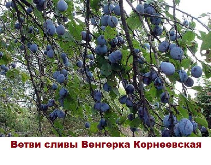 Выбор лучших сортов и агротехника выращивания сливы для всех регионов россии