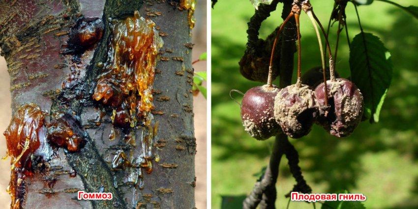 Камедетечение у вишни: лечение смолы на дереве, меры борьбы и что делать