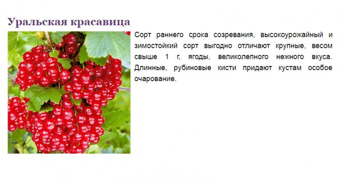 Смородина красная уральская красавица отзывы