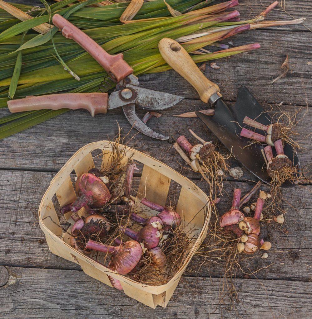 Что делать с гладиолусами после цветения и как подготовить к хранению