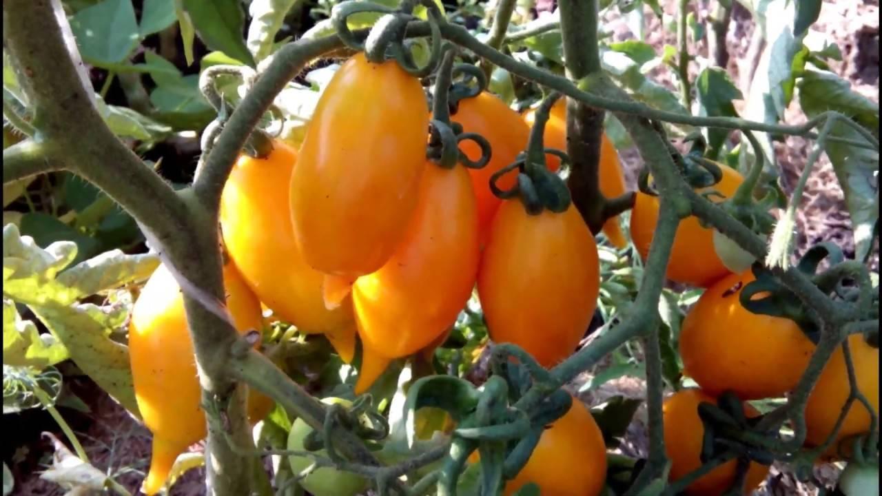 Томат золотая канарейка: описание и характеристика сорта, отзывы, фото   tomatland.ru