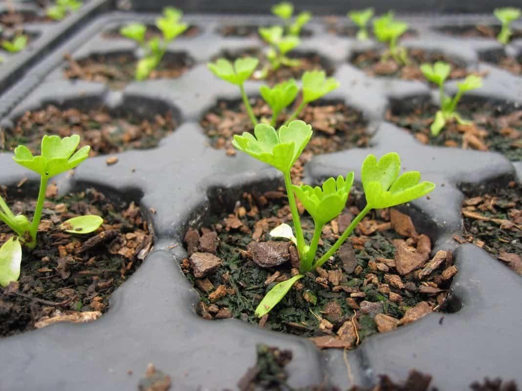 Как сажать петрушку семенами: на какую глубину в открытый грунт их сеять, лучше ли зимой и когда поливать, а также секреты правильного ухода за зеленью на даче русский фермер