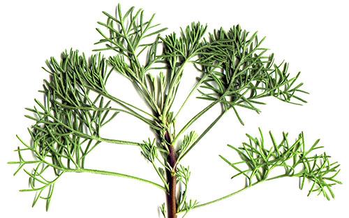 Древовидная полынь божье дерево: описание и посадка, лечебные свойства