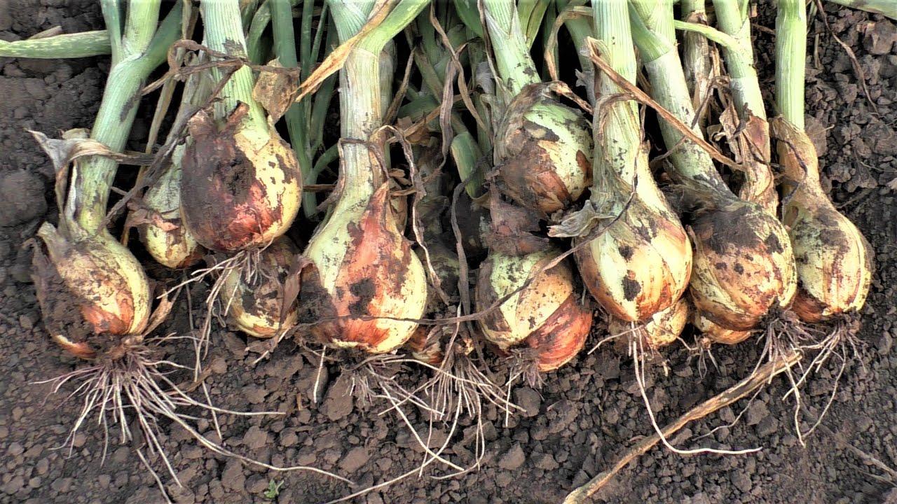 Почему гниет лук при хранении: что делать, если овощ начал гнить изнутри или снаружи, как не допустить образования гниющих плодов?