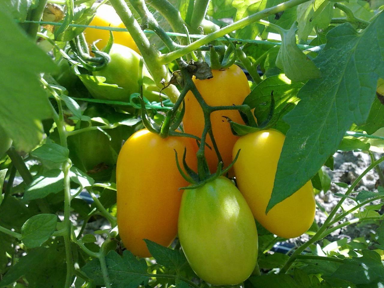 Вся правда про сорт томатов «мазарини»