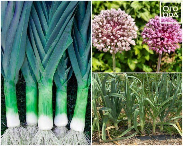 Лук-шалот: фото, описание, выращивание и уход, отличие от репчатого, применение в кулинарии - sadovnikam.ru