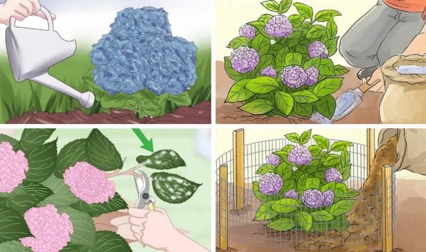 Виды гортензий: названия, описание, особенности выращивания и ухода, фото