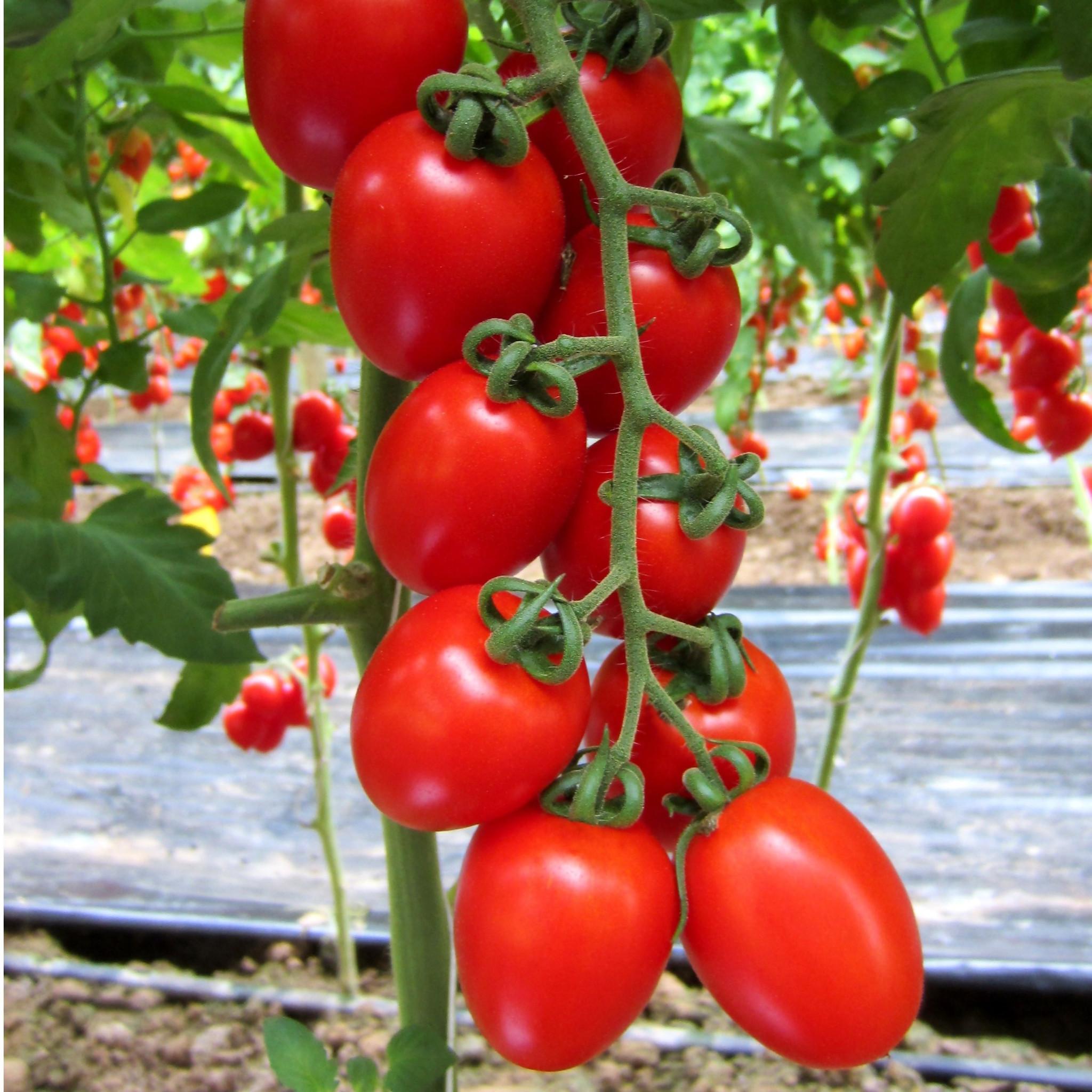 Описание и нюансы выращивания томата сэр элиан f1 — излагаем по пунктам