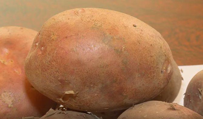 Описание сорта картофеля утро раннее, его характеристика и урожайность - всё про сады