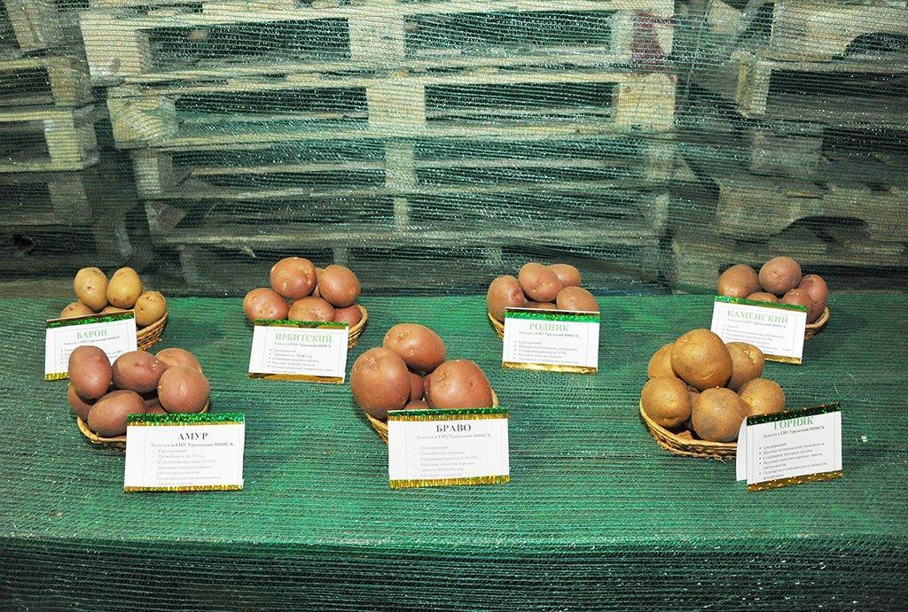 Картофель ирбитский: характеристика и описание сорта, фото, отзывы