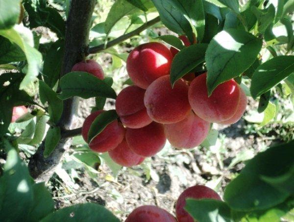 Слива маньчжурская красавица: описание сорта и опылители, выращивание и уходс фото