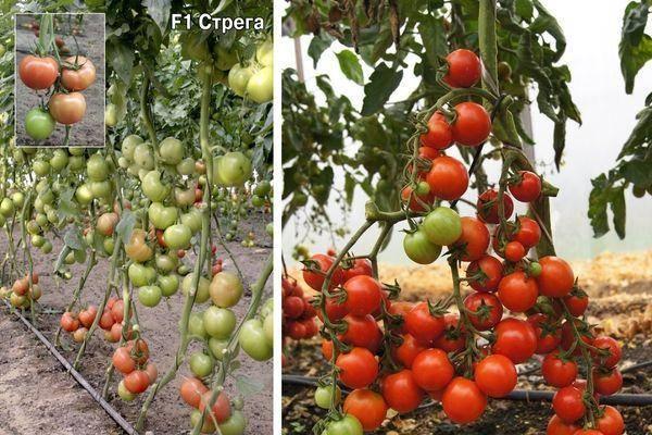 Особенности выращивания крупноплодных томатов (помидоров)