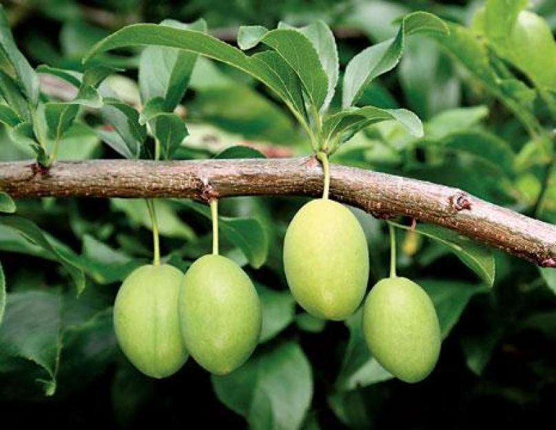 Почему осыпается еще зеленый абрикос — рассматриваем основательно