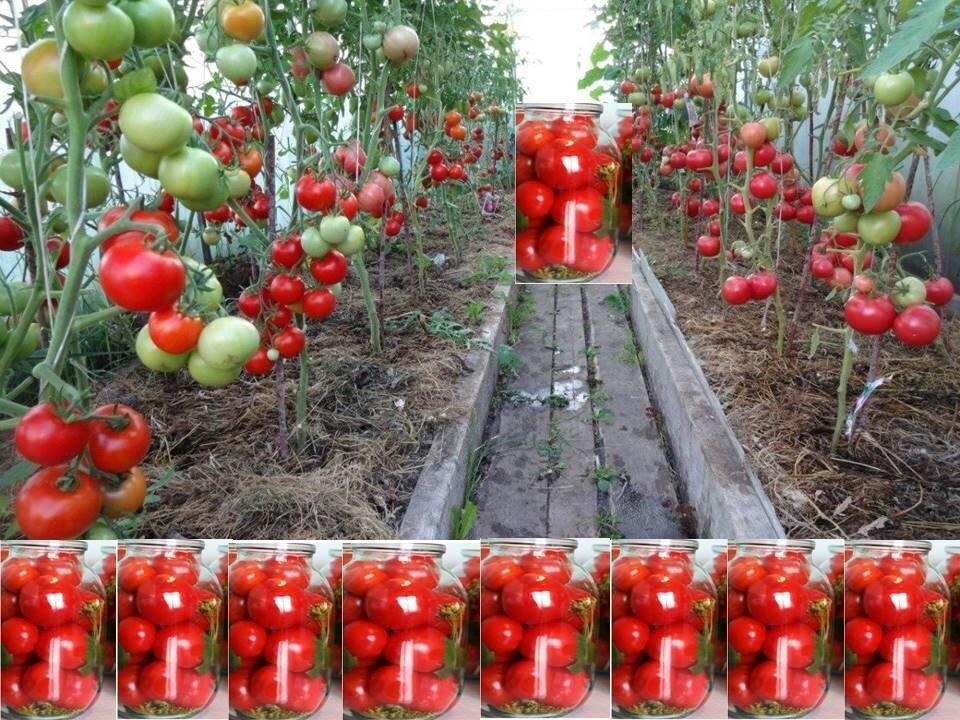 Какие сорта томатов выбрать для выращивания в сибири